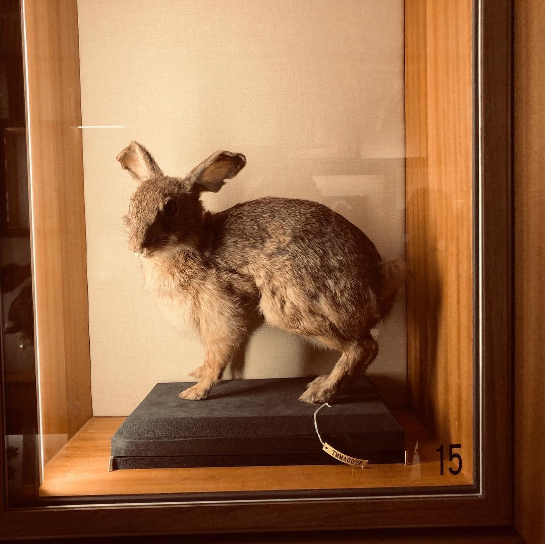 """During the long weekend, I visited National Taiwan Museum, where I saw the exhibition """"Discovering Taiwan: Re-visiting the Age of Natural History and Naturalist of Taiwan"""". At the exhibition I saw a taxidermy of an endemic rabbit species to Taiwan, the Formosan Hare.  The Formosan Hare is smaller and more slender relative to the European hare. It seems it has shorter ears than its relatives in Europe, and in the Americas.  The Latin name is Lepus sinensis formosus."""